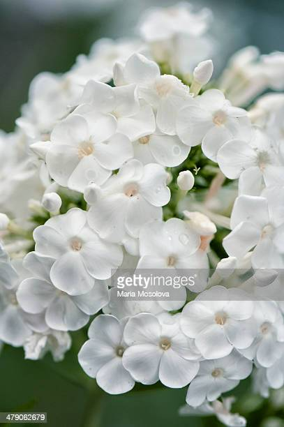 garden phlox miss lingard in bloom - lingard stock photos and pictures