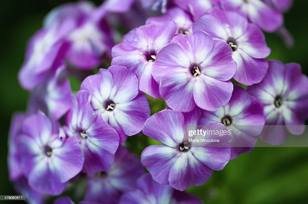 Garden Phlox Wilhelm Kesselring Flower Pattern : Stock Photo