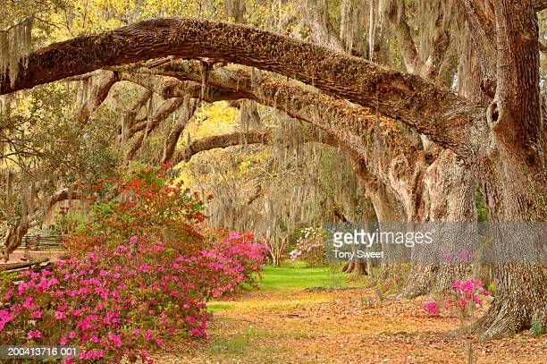 garden - live oak tree stock pictures, royalty-free photos & images