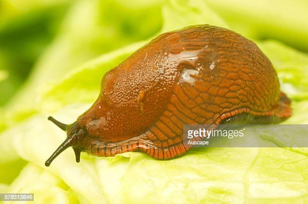 Garden slug Arion hortensis Europe