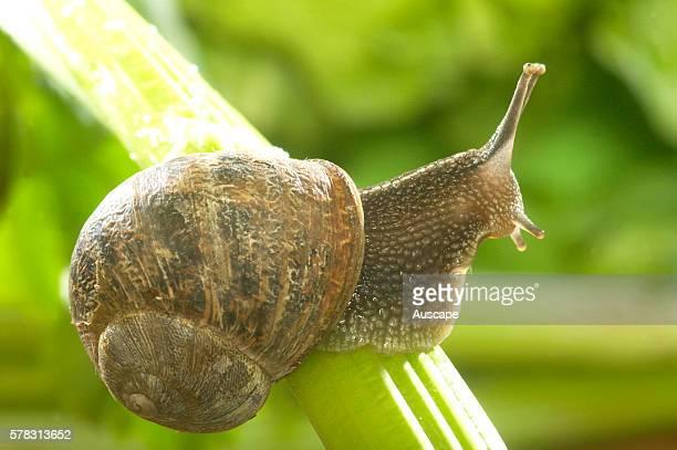 Garden snail Cantareus aspersus on a celery stalk