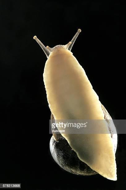 Garden snail Cantareus aspersus on glass seen from below Europe