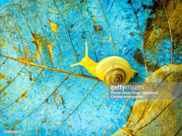 A Garden snail crawling over a leaf skeleton