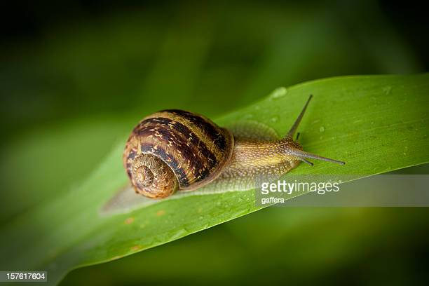 garden snail crawling - snail stock photos and pictures