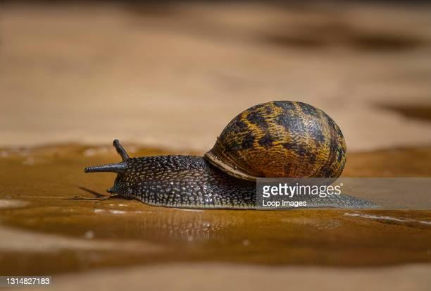 Garden snail crawls along a path.