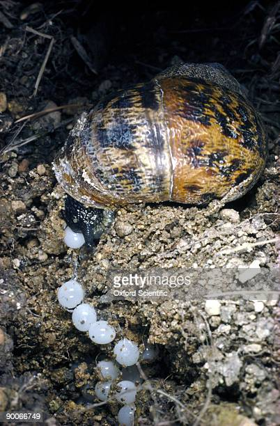 garden snail helix aspersa laying eggs - garden snail stock photos and pictures
