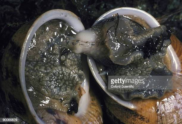 garden snail helix aspersa mating - garden snail stock photos and pictures