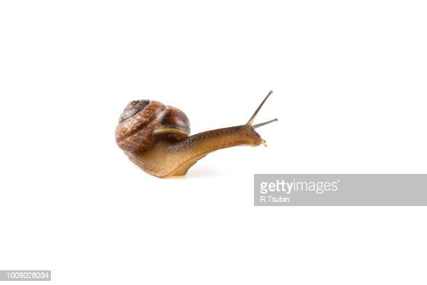garden snail ,isolated on white - limace photos et images de collection