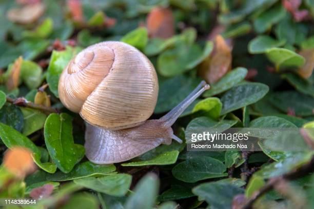 garden snail over a climbing plant - limace photos et images de collection