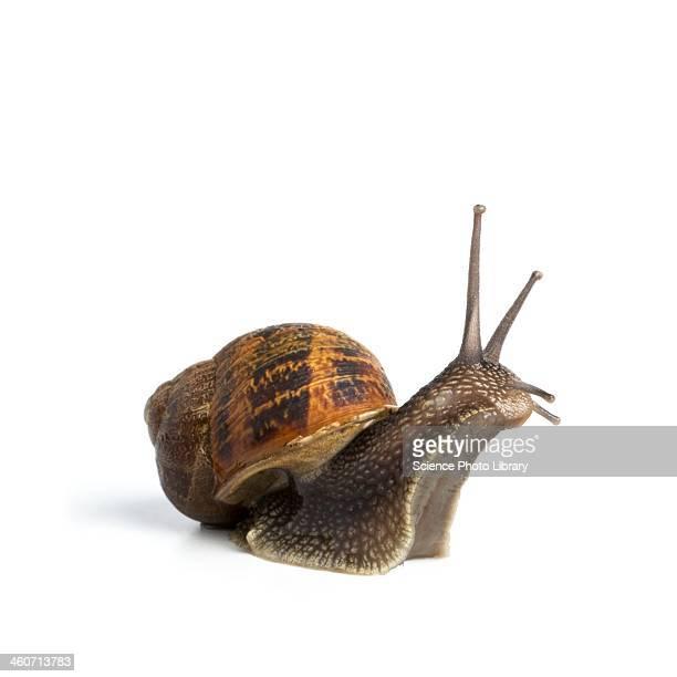 garden snail - snail stock photos and pictures
