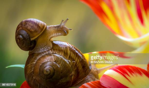 garden snail - garden snail stock photos and pictures