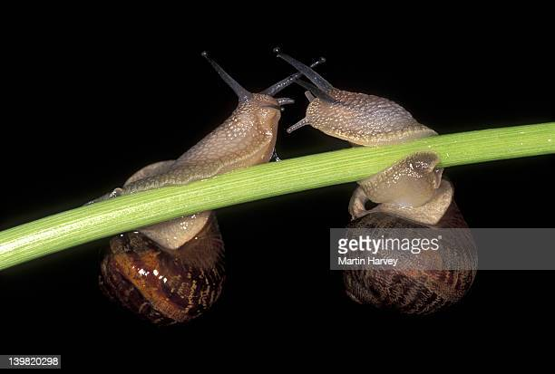 garden snails, cantareus aspersus, a popular edible species found throughout europe - garden snail stock photos and pictures