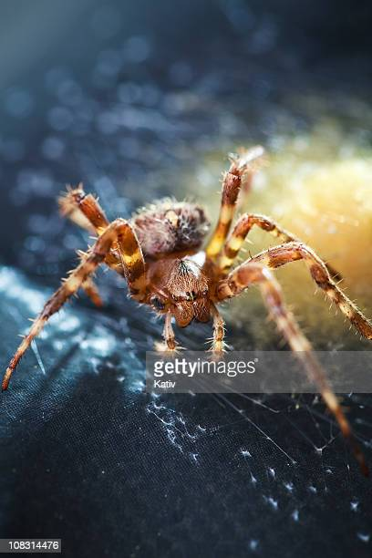 garden spider & egg sac - sac stock pictures, royalty-free photos & images