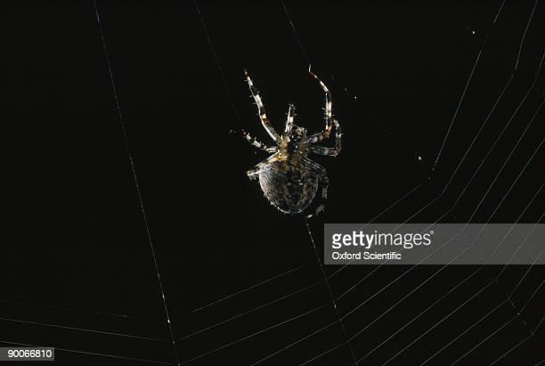 garden spider araneus diadematus spinning, ventral view u.k. - ニワオニグモ ストックフォトと画像