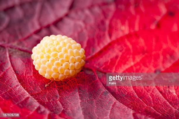 ニワオニグモ卵の葉 - ニワオニグモ ストックフォトと画像