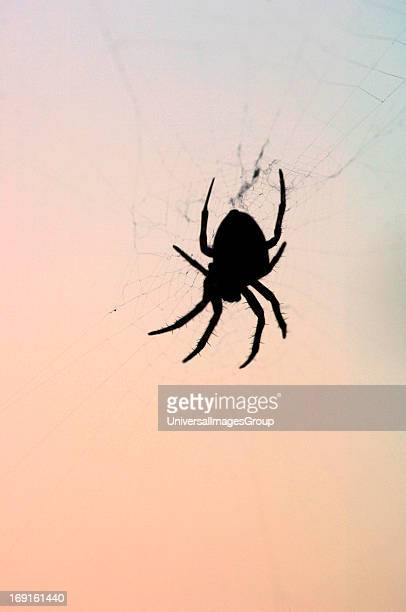 A Garden Spider Hanging On Its WebSilhouetted Against An Evening Sky