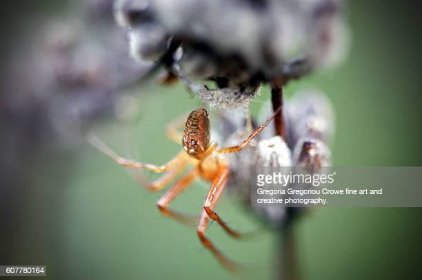 garden spider on lavender - gregoria gregoriou crowe fine art and creative photography. fotografías e imágenes de stock