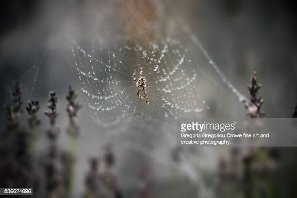 garden spider on web with rain drops - gregoria gregoriou crowe fine art and creative photography stock pictures, royalty-free photos & images