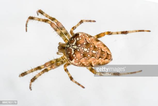 "garden spider or ""cross spider"" (araneus diadematus) european garden spider. - ed reschke photography stock photos and pictures"