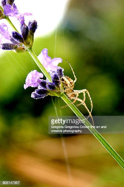 garden spider - gregoria gregoriou crowe fine art and creative photography. stock pictures, royalty-free photos & images
