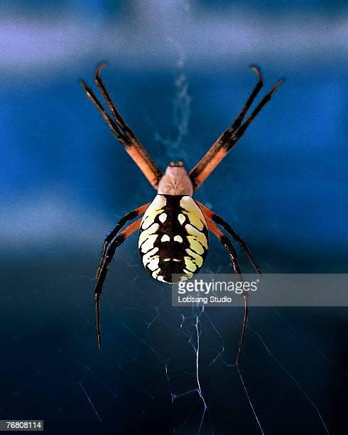garden spider - ニワオニグモ ストックフォトと画像