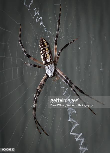 garden spider - dave wilson webartz stock pictures, royalty-free photos & images