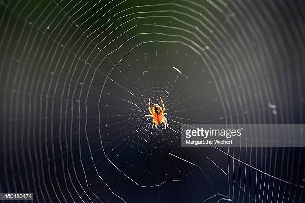 A garden spider sits in the middle of it's web on June 12 2014 in Munich Germany According to an old saying it's a sign of good weather if a spider...