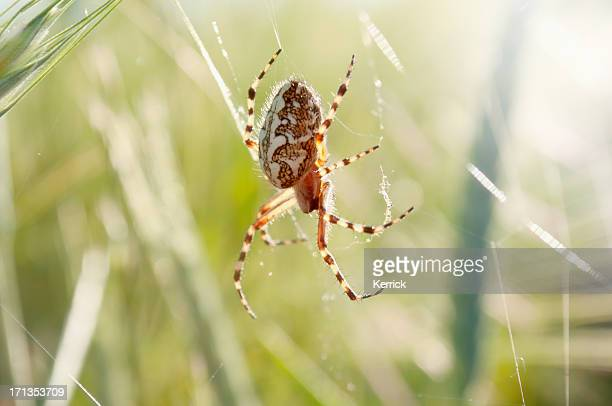 garden spider with her net in grass - ugly spiders stock photos and pictures