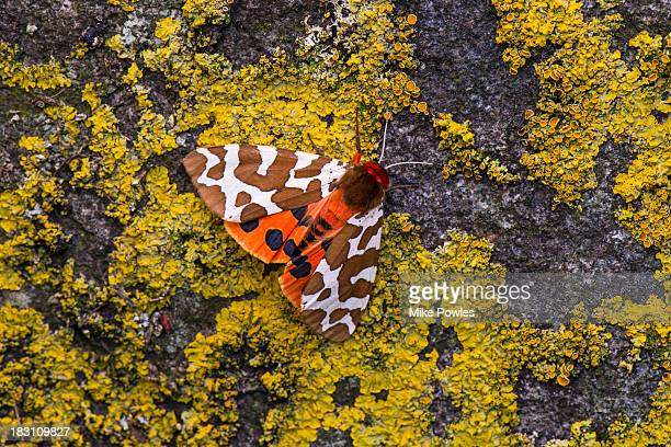 Garden Tiger Moth on rock, Isle of May