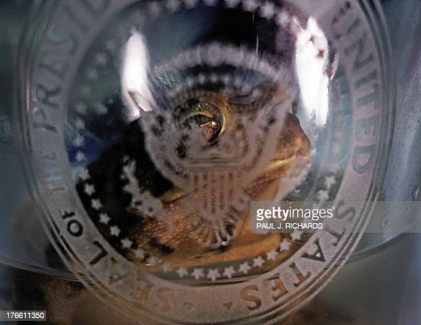 A garden toad that wandered into a photographer's garage is seen after being scooped up in a cocktail glass with the White House logo August 16 2013...