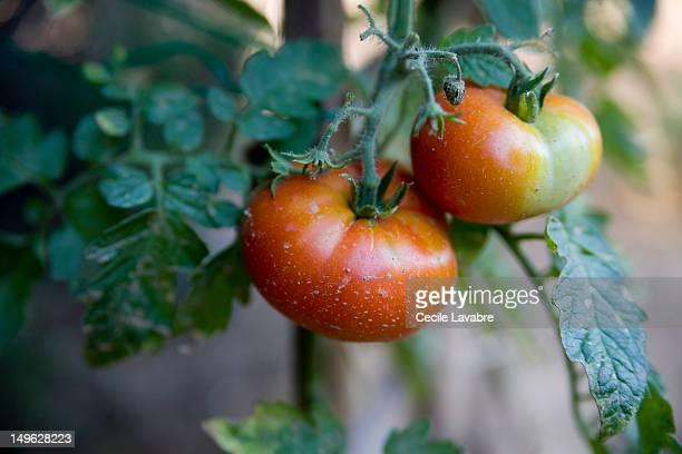 garden tomatoes gowing on the vine - plant de tomate photos et images de collection