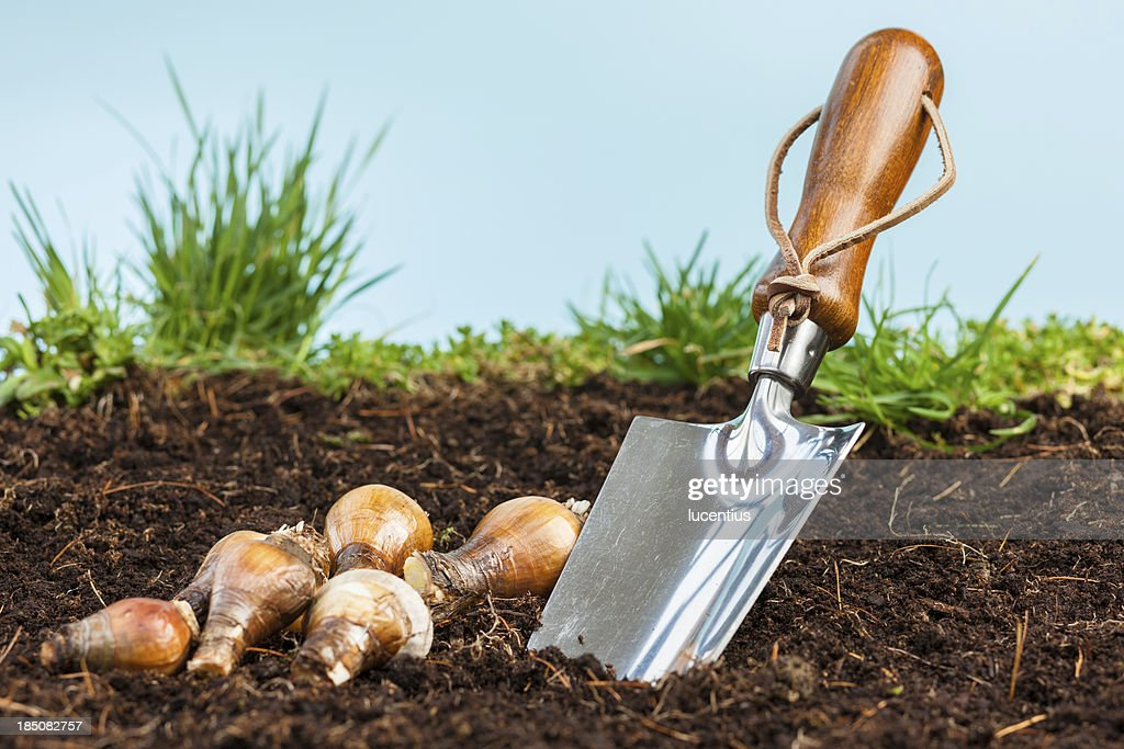 Garden trowel with bulbs in soil : Stock Photo