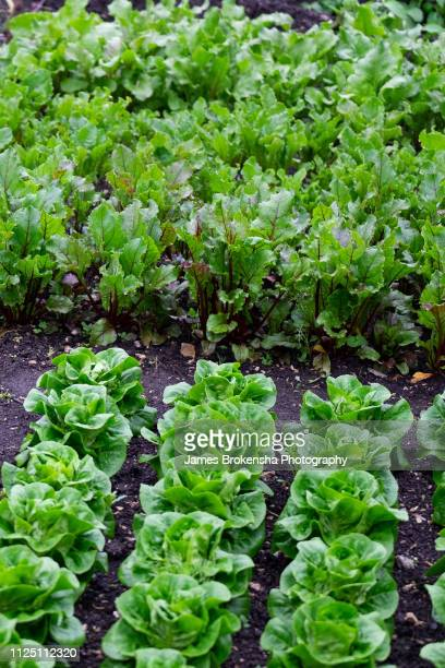 garden vegetable patch - vegetable garden stock pictures, royalty-free photos & images