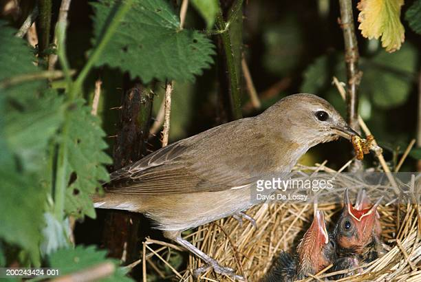 garden warbler feeding chicks in nest - warbler stock pictures, royalty-free photos & images