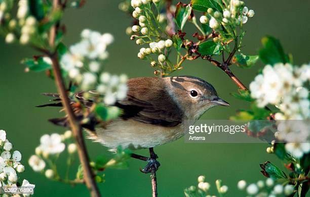 Garden Warbler perched in tree in spring