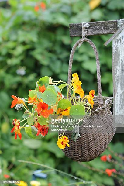 Garden, wicker basket planted with nasturtiums