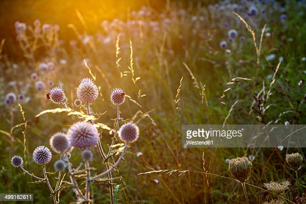garden with blossoming thistles (carduus) at sunlight - insekt stock-fotos und bilder