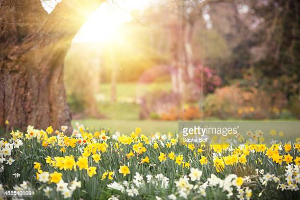 garden with daffodils - daffodils stock photos and pictures
