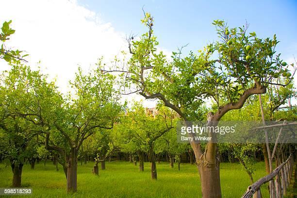 Garden with lemon trees, Sorrento, Italy