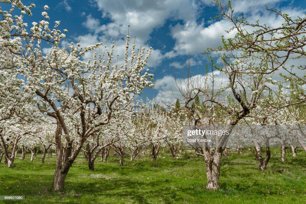 Garden with many blossoming cherry trees, southern Turkey, near Adana : Stock-Foto