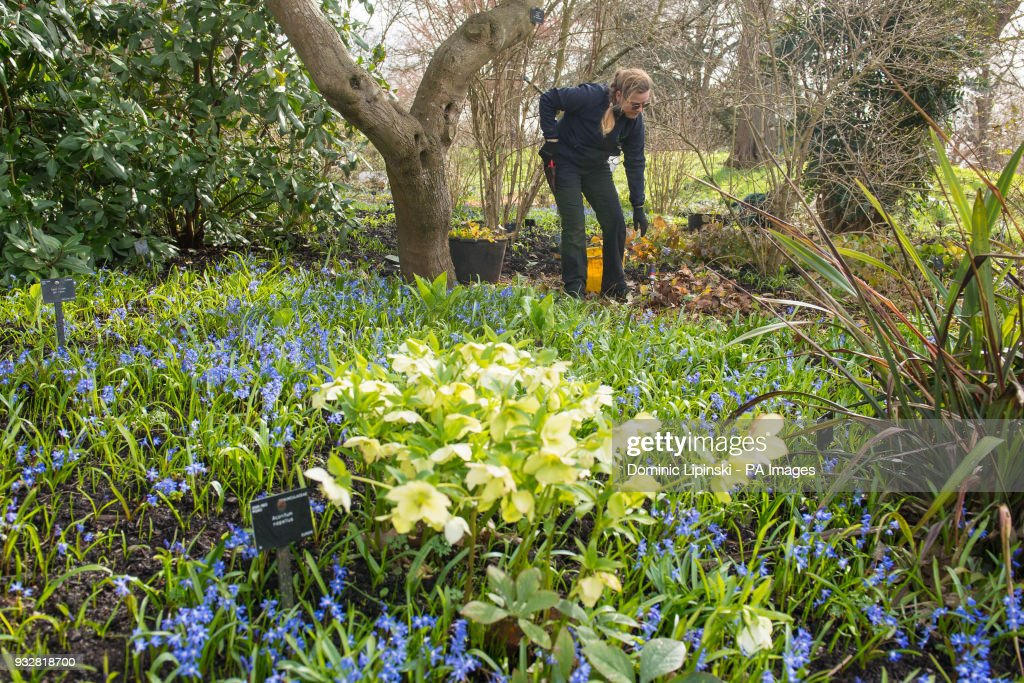 Winter weather mar 16th 2018 pictures getty images a gardener at work among spring flowers at kew gardens in richmond london mightylinksfo