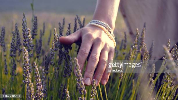 gardener caring for blooming lavender. soft touch - aromatherapy stock pictures, royalty-free photos & images