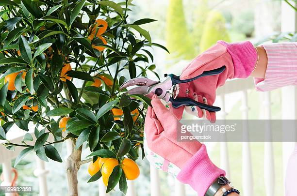 gardener cutting leaf - pruning shears stock photos and pictures