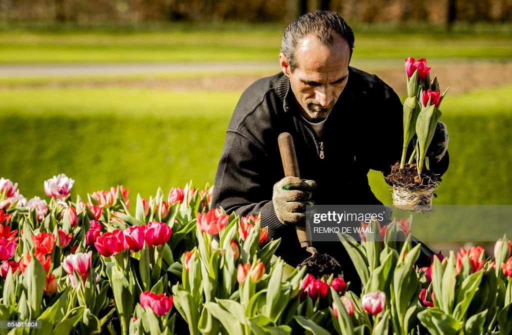 A gardener does finishing touches in a field of tulips in the Keukenhof in Lisse, on March 16, 2017. / AFP PHOTO / ANP / Remko de Waal / Netherlands OUT