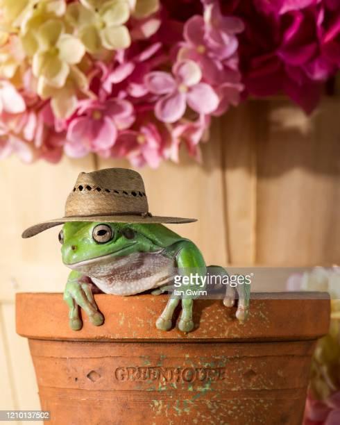 gardener frog - ian gwinn photos et images de collection