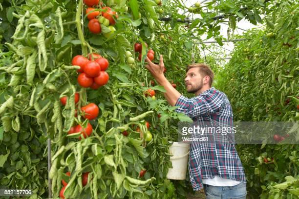Gardener harvesting tomatoes in greenhouse