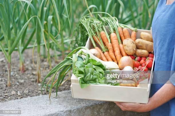 gardener holding fresh vegetable box in garden. - garden stock pictures, royalty-free photos & images