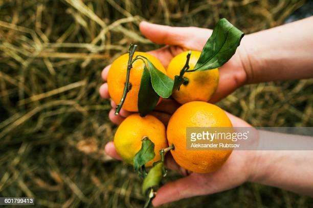 Gardener holding fruit in garden