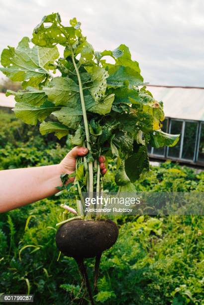 gardener holding rutabaga in garden - rutabaga stock pictures, royalty-free photos & images