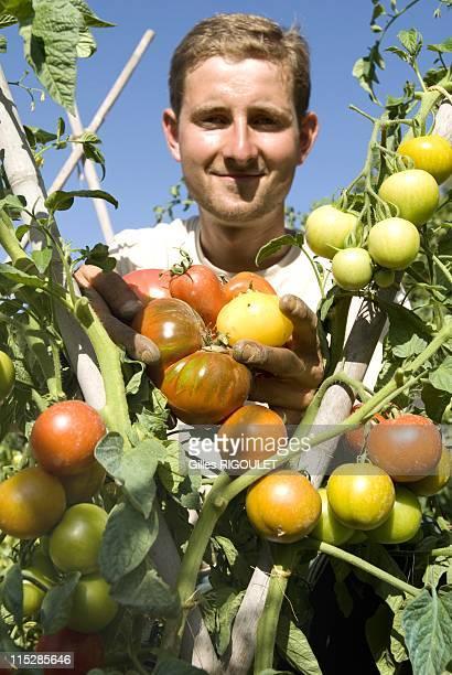 Gardener Nicolas Toutain on August 2009 in Conservatory of Tomato, Castle de la Bourdaisiere, Montlouis sur Loire, France. Conservatory of Tomato...